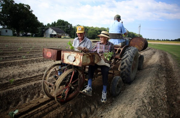 Bo and Joann Wood plant collards at the Wood family farm off of Highway 70 in Clayton as they are towed by longtime friend Jw Nichols on August 5, 2013. Bo has kept their family tradition going since his mother started farming in 1935.