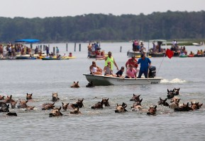 Around 150 ponies cross Assateague Channel during the 89th annual Pony Swim to the Island of Chincoteague, Va., on Wednesday, July 30, 2014.