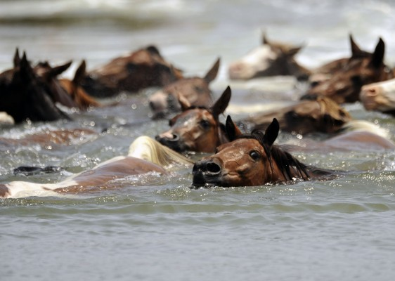 Ponies cross Assateague Channel during the 89th annual Pony Swim to the Island of Chincoteague, Va., on Wednesday, July 30, 2014.