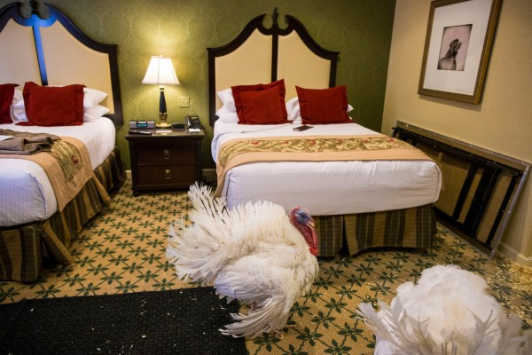 Tater and Tot, the official Turkeys roam their hotel suite at the Willard InterContinental, Tuesday, November 22, 2016 in Washington before being pardoned by President Barack Obama.
